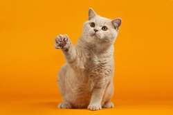 British cat on orange background