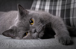British cat on the sofa.