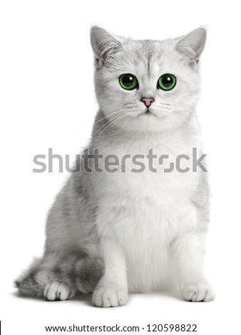 british cat on the white background