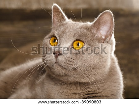British cat, rare color (lilac) , sitting in front of vintage background