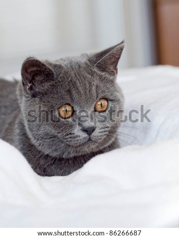 British cat shorthair