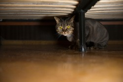 British cat under the bed.  Cat grooming.  Сat haircut styles, Lion Cut For Cats concept.