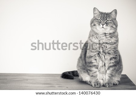 British Cat vintage old style photo with empty background place