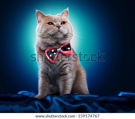 British cat with a bow-tie