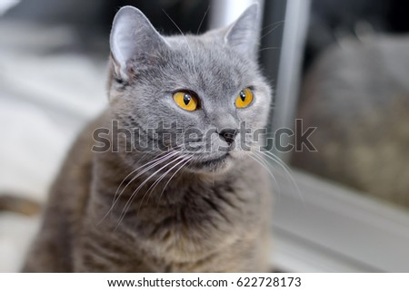 British cat with amber eyes. Blue pedigreed kitty is staring. A pet animal in the house. #622728173