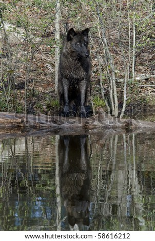 British Columbian Wolf Reflected in Pond