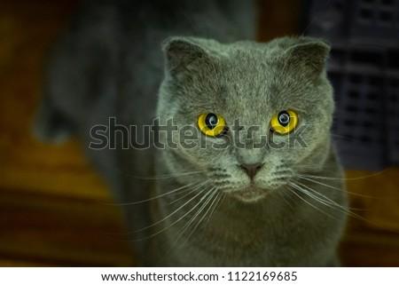 British fold cat #1122169685