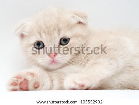British Fold kittens
