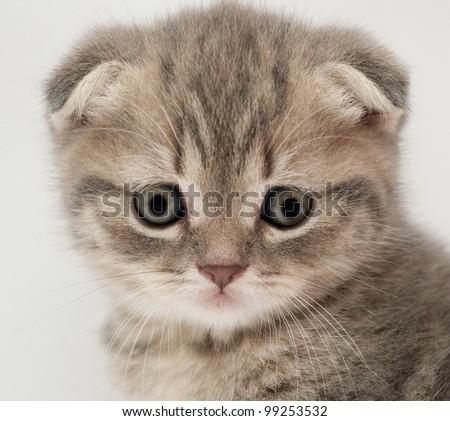 maine coon cat traits