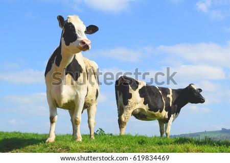 British Friesian cow against blue sky grazing on a farmland in East Devon, England