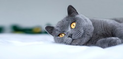 British gray blue shorthair cat relaxing laying on bed. Closeup. Selective focus. banner