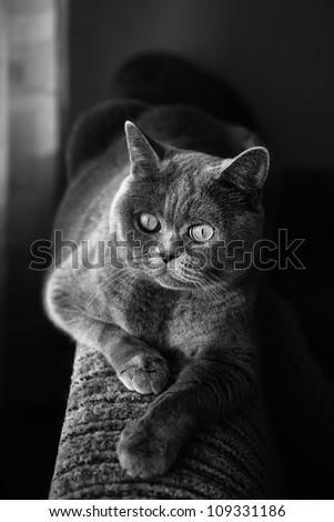 British gray cat lying in the window close up