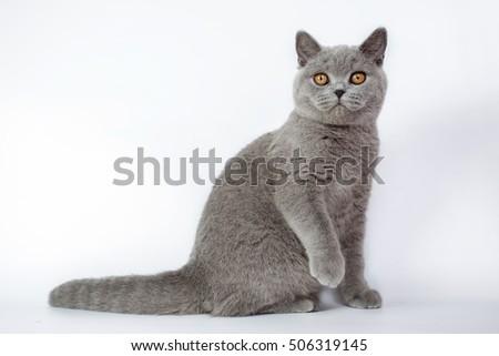 British grey cat isolated on a white background, studio photo