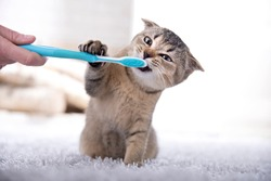 British kitten and a toothbrush. The cat is brushing his teeth