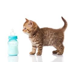 British Kitten and baby milk bottle on white background.