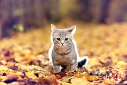 British kitten in autumn park, fallen leaves