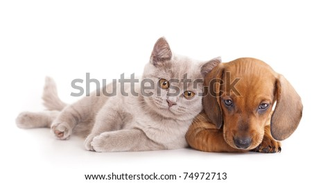 British kitten rare color (lilac) and puppy red dachshund - stock photo