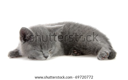 British kitten sleeps, on a white background is isolated.