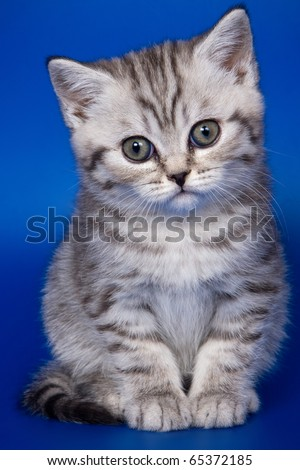 British kittens on blue backgrounds