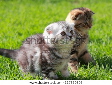 British kittens on grass looking on summer sunny background