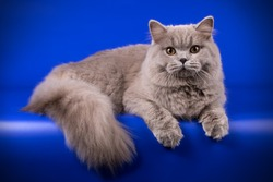 British longhair blue cat