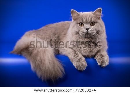 British longhair blue cat #792033274