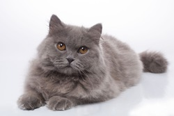 British longhair blue cat with brown eyes in a lying position isolated on white background