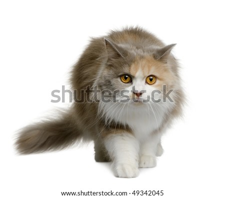 British longhair cat, 11 months old, walking in front of white background