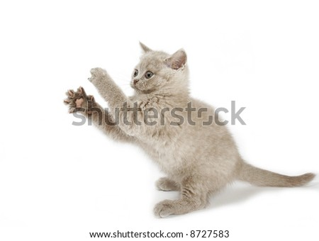 British pedigreed kitty of the mauve color.