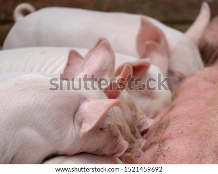British piglets feeding. Cute piglets suckling. Adorable baby farm animals. #1521459692