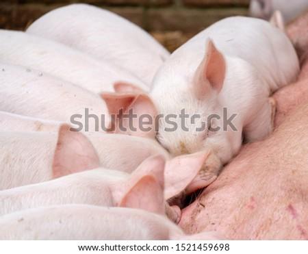 British piglets feeding. Cute piglets suckling. Adorable baby farm animals. #1521459698