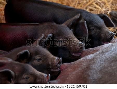 British piglets feeding. Cute piglets suckling. Adorable baby farm animals. #1521459701