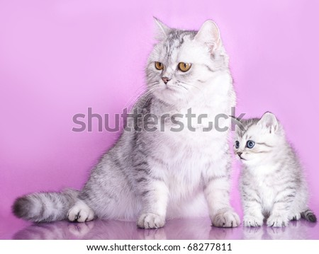 British purebred mother cat and baby kitten