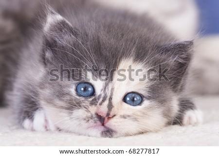 British purebred mother cat and baby kitten