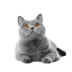 British purebred shorthair cat on a white background smiles like a Cheshire. A gray skittish cat is resting on isolation. Cat for advertising feed