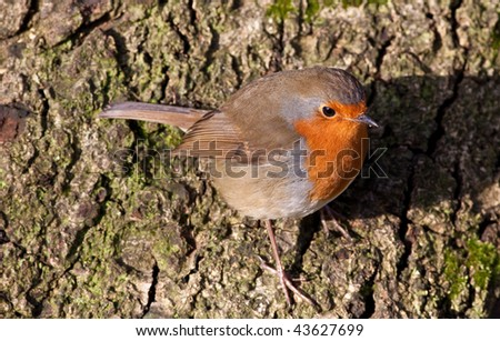 British Robin (Erithacus rubecula) perched on a tree in the sunshine