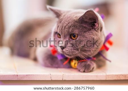 British Short-hair cat is looking away.