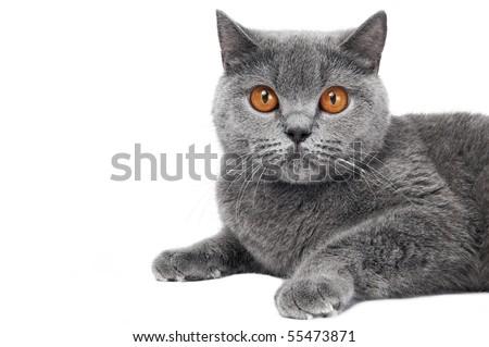 British short hair grey cat with big wide open orange eyes isolated
