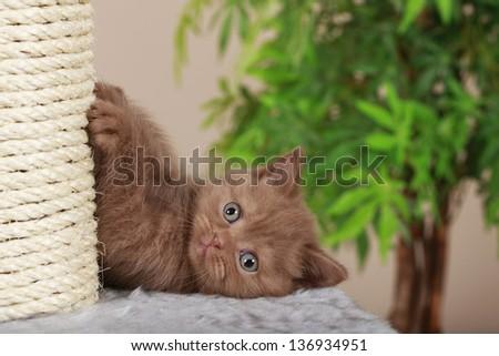 British short hair kitten beside scratching post