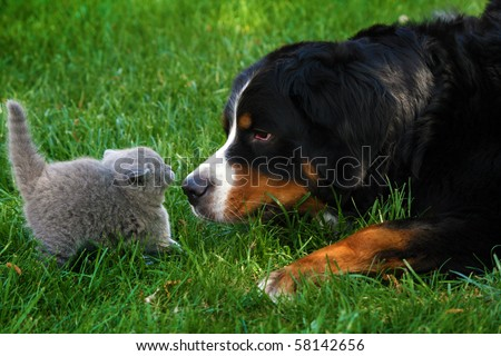 British Short-haired cat and Mountain Bernese dog sniffing