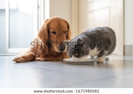 British shorthair and golden retriever eating
