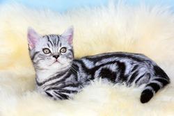 British shorthair black silver tabby blotched kitten lying on fur