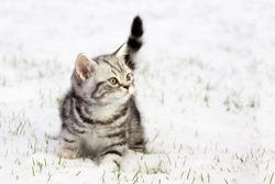 British shorthair black silver tabby blotched kitten walking in winter snow