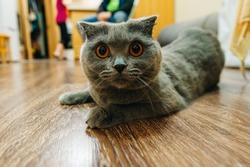 british shorthair blue cat lying on the floor