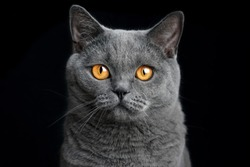 british shorthair blue cat on a black background portrait
