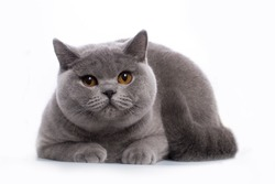 British Shorthair blue young cat with orange eyes on a white background isolate