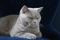 British shorthair cat blue fluffy
