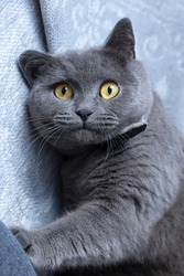 British Shorthair cat. Close up of cat's head with funny curious confused shocking face and wide open eyes. Surprised or  frightened cat when looking at something.