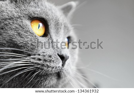 British shorthair cat detail (British Blue cat) - domesticated cat whose features make it a popular breed in cat shows.