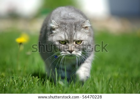 British Shorthair Cat hunting on the grass close up - stock photo